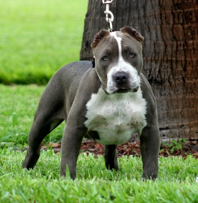 Blue Pitbull Puppies on Pit Bull Puppies For Sale  Blue Nose Pitbull Puppies Is Our Breed