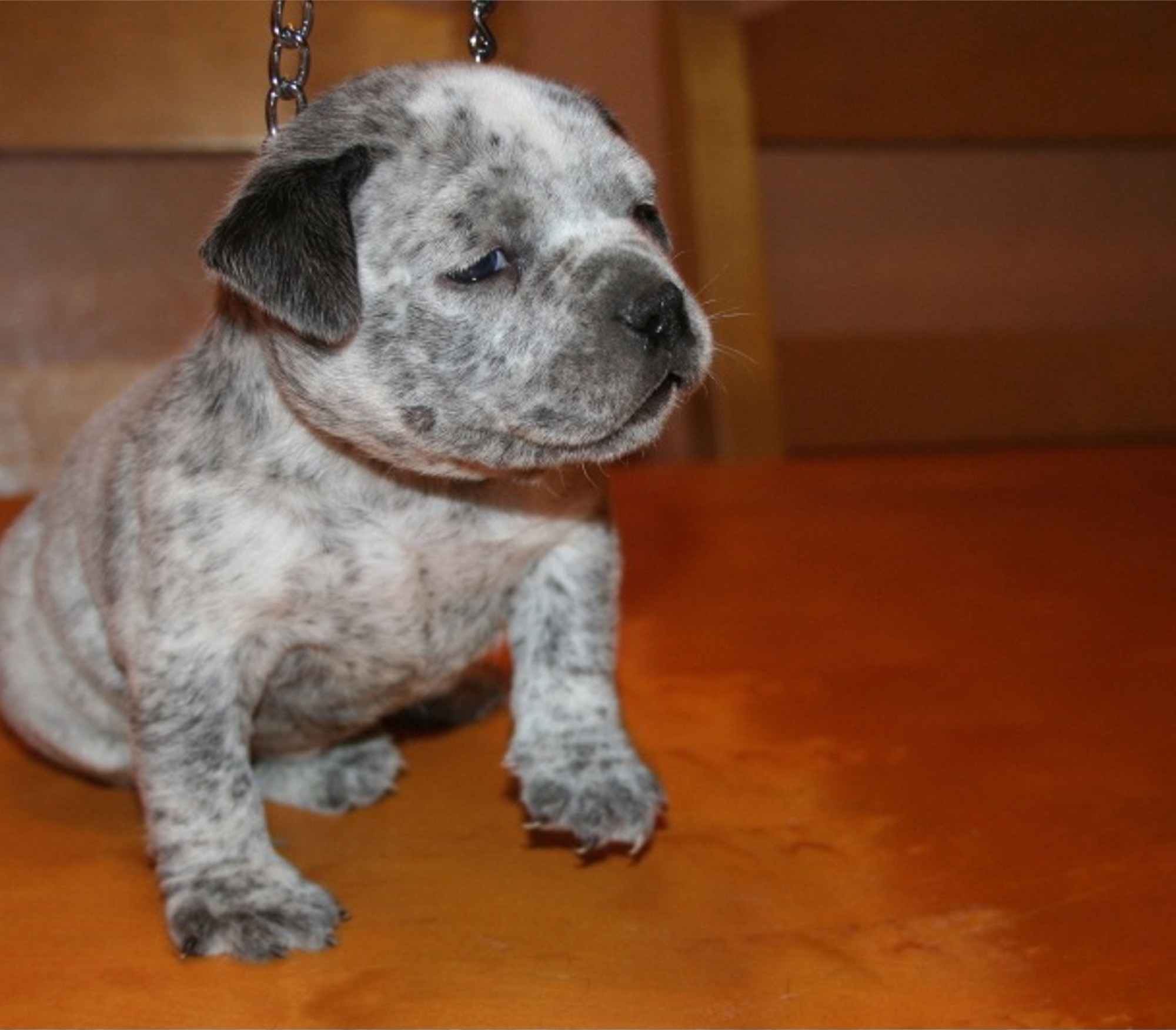 pitbull puppies for sale, pitbull kennel, pitbull for sale, bule ...